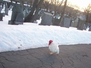 Rooster image_Hz